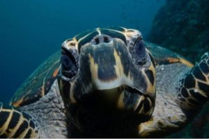 Asia-Liveaboard-Diving-Holiday-Indonesia-Turtle