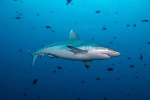 Shark Maldives Deep South Diving