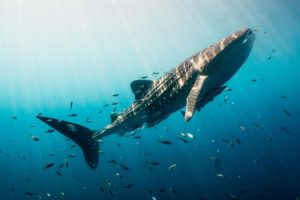 Whale Shark Tachai, Similan Islands