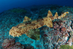Wobbegong Shark Misool Diving