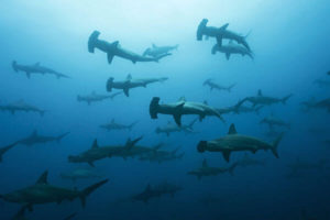 hammerhead-shark-diving-Banda Sea Liveaboard